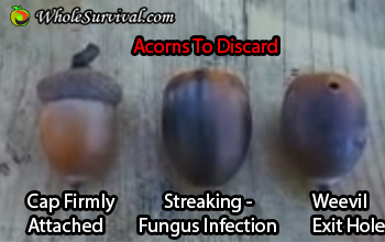 acorns not to collect
